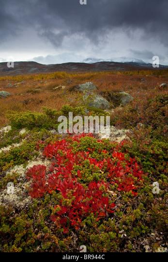 Farben des Herbstes in Strynefjellet, Norwegen Stockbild