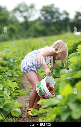 Kleines Mädchen pflückt Erdbeeren in einem Erdbeerfeld Stockbild