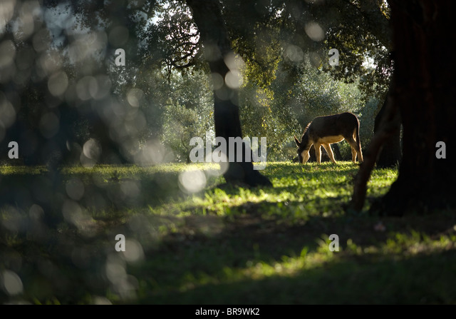 Ein Esel grast in einem Olivenhain Stockbild
