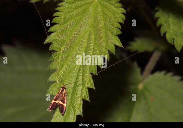 Longhorn Moth (Nemophora Degeerella: Incurvariidae), männliche in Wäldern, UK. die längste Antennen Stockbild