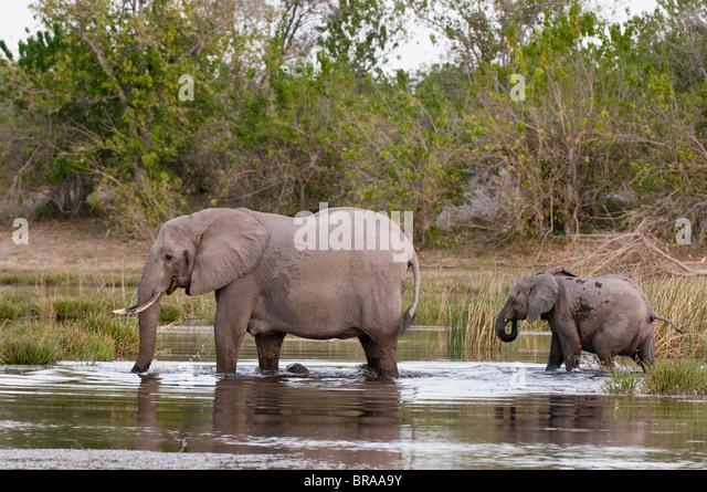 Elefant (Loxodonta Africana), Savute Kanal, Linyanti, Botswana, Afrika Stockbild