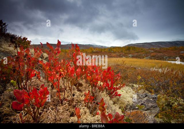 Farben des Herbstes in Strynefjellet, Norwegen. Stockbild
