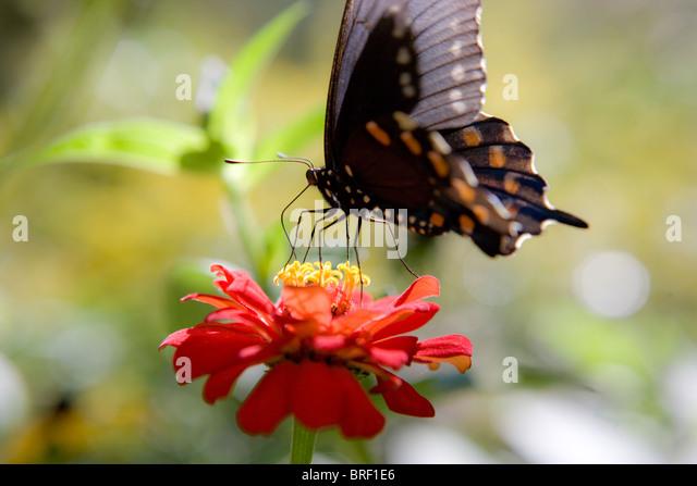 Schwalbenschwanz-Schmetterling auf einer Blume Zinnie ausruhen, Essen Stockbild