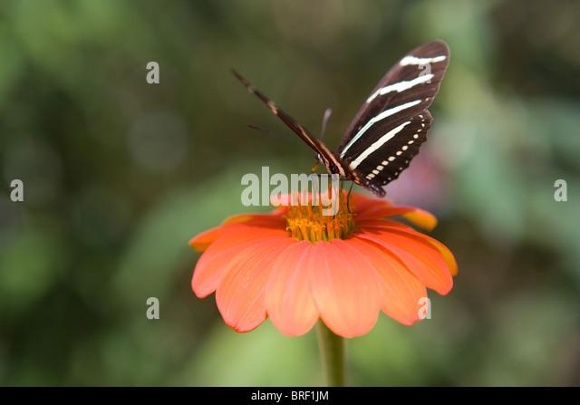 Zebra Schmetterling, Trinken Nektar aus einem Zinnia Blume, schwarzen und weißen Streifen, Frieden, Ruhe, Natur Stockbild