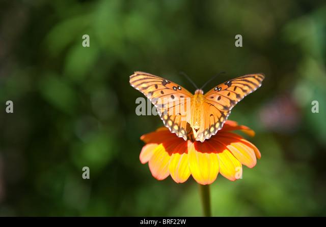 Monarch-Schmetterling ruht auf einer Zinnia Blume in der Sonne Stockbild