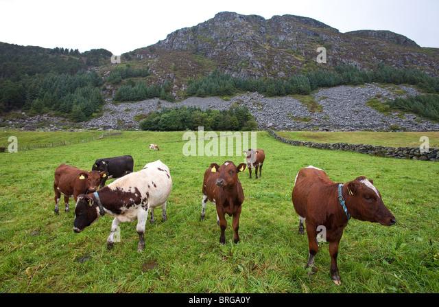"""Rinder der Gattung """"Vestlandsk Fjordfe"""" auf der Insel Runde an der West Küste von Norwegen. Stockbild"""