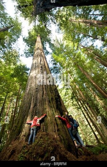 Drei Freunde umarmen ein riesiges Redwood in Kalifornien. Stockbild