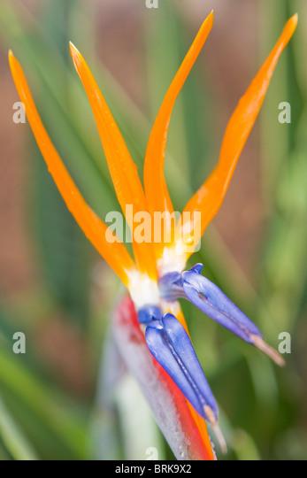 Strelitzia Reginae Blumen Stockbild