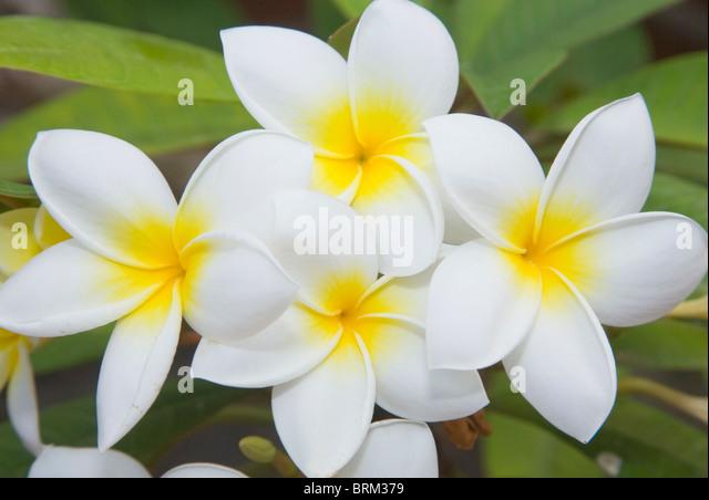 Plumeria Rubra mit weißen Blüten; Frangipani, Plumeria oder das Temple Tree. Stockbild