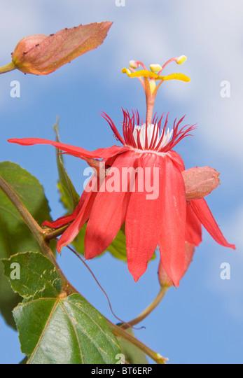 Passiflora Coccinea oder die rote Passionsblume Stockbild