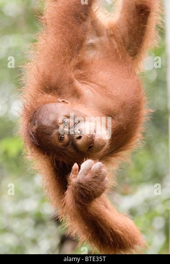 Semmengoggh Orang Utan Sanctuary Kuching Borneo Malaysia Stockbild