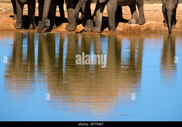 Eine durstige Familie große Elefanten trinken frisches Wasser in einer großen Pfütze. Das neue geboren Stockbild