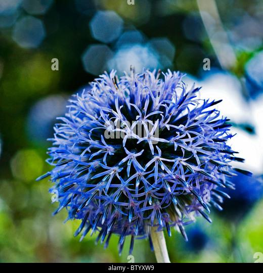 Exotische Runde lila Blüten. Stockbild
