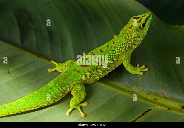 Riesige Madagaskar Taggecko auf Bananenblatt Stockbild
