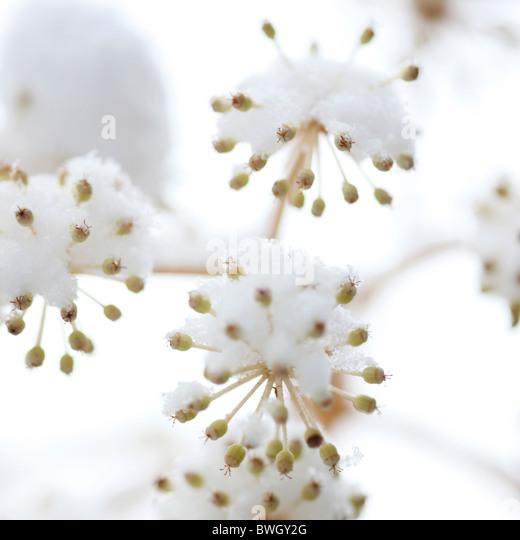 Fruchtung japanische Aralia im Winterschnee - Fine Art-Fotografie, Jane Ann Butler Fotografie JABP950 RIGHTS MANAGED Stockbild