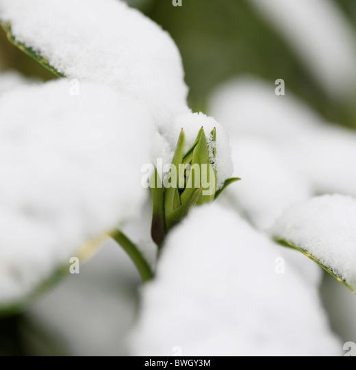 schneebedeckte Acuba Japonica Knospe - Fine Art-Fotografie, Jane Ann Butler Fotografie JABP954 RIGHTS MANAGED Stockbild