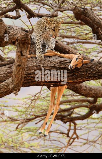 Leopard (Panthera Pardus) Cub mit einer Impala (Aepyceros Melampus) töten in Samburu National Reserve, Kenia Stockbild