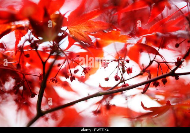 atmosphärische rote Ahornbaum Jane Ann Butler Fotografie JABP909 Stockbild