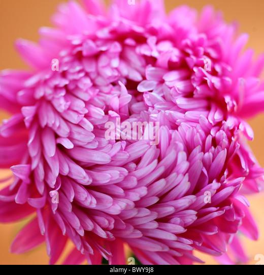 schön hell rosa Aster Jane Ann Butler Fotografie JABP869 Stockbild