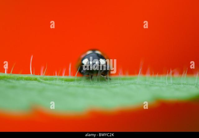 Nahaufnahme, Makro-Bild von einem 7-Punkt Marienkäfer - Coccinella Septempunctata ruht auf dem lebendigen rote Stockbild