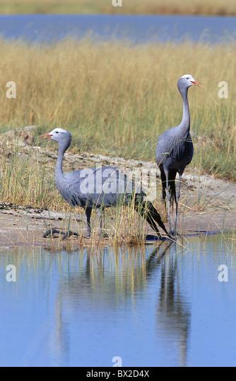 Afrikas Tier Tiere Menschenaffen Paradisea Anthropoides Paradisea Vogel Vögel Blue Crane jubeln jubeln Che Stockbild