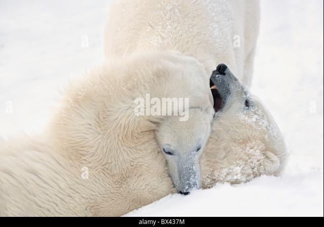 Zwei Eisbären spielen, kämpfen, wie sie warten, bis das Eis einfrieren über in der Hudson Bay; Churchill, Stockbild