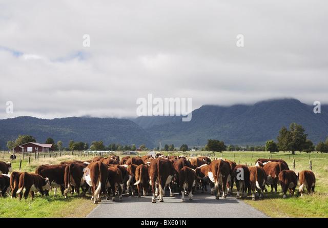Rinder auf flachen Cook Road, in der Nähe von Fox Township, West Coast, Südinsel, Neuseeland, Pazifik Stockbild