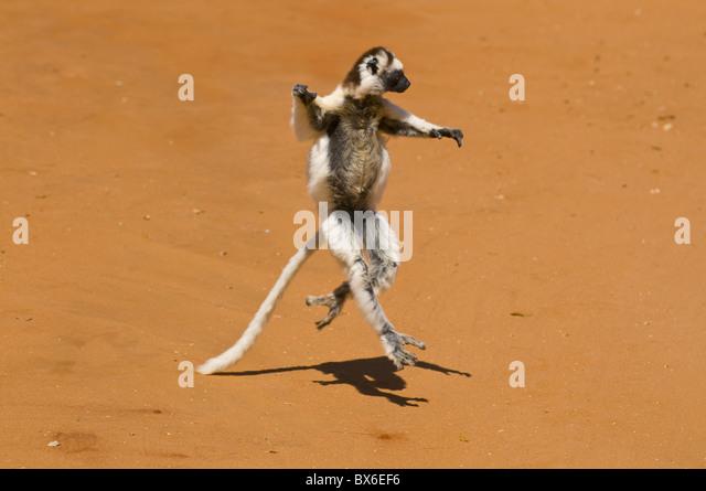 Springenden Verreauxi Lemur (Verreaux Sifaka), Berenty Private Reserve, Madagaskar, Afrika Stockbild