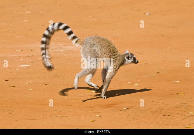 Katta (Lemur Catta), Berenty Private Reserve, Madagaskar, Afrika Stockbild