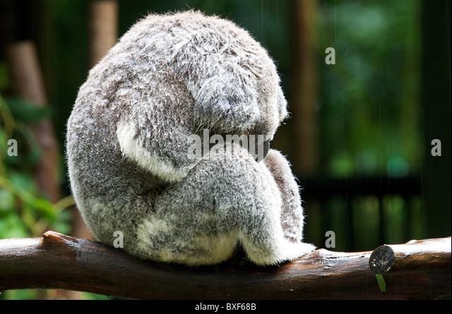 Ein sehr nasser Koala schläft unter der Regendusche. Stockbild