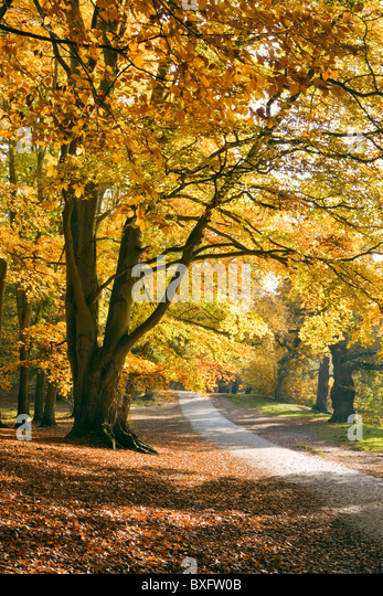 Herbst in Virginia Water, Surrey, UK. Buche Bäume. Stockbild