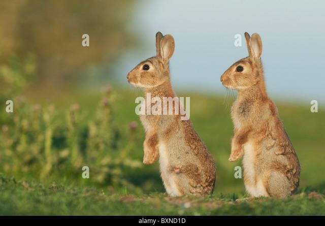 Europäischen Kaninchen (Oryctolagus Cuniculus). Zwei junge Warnung in der Abend Sonne, North Kent Sumpfgebiete, Stockbild
