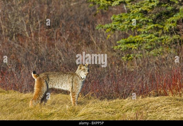 Ein Side-View-Bild eines wilden kanadischen Luchses Stockbild