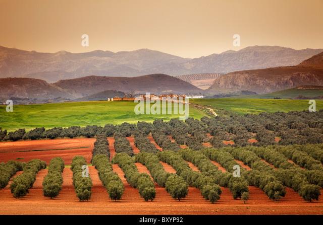 Campo de Olivos Laguna Fuente de Piedra Malaga Andalusien España Olive Grove Andalusien Spanien Stockbild