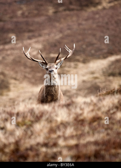 Red Deer Hirsch Cervus Elaphus allein in den schottischen Highlands an einem kalten Wintertag in den Bergen Stockbild