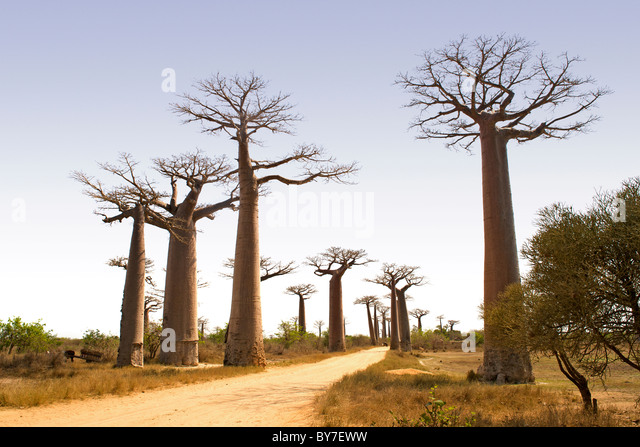 Allee der riesige Baobabs in der Nähe von Morondava im südwestlichen Madagaskar. Stockbild
