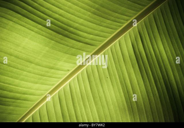 Komplizierte Textur in einem frischen grünen Blatt offenbart Stockbild