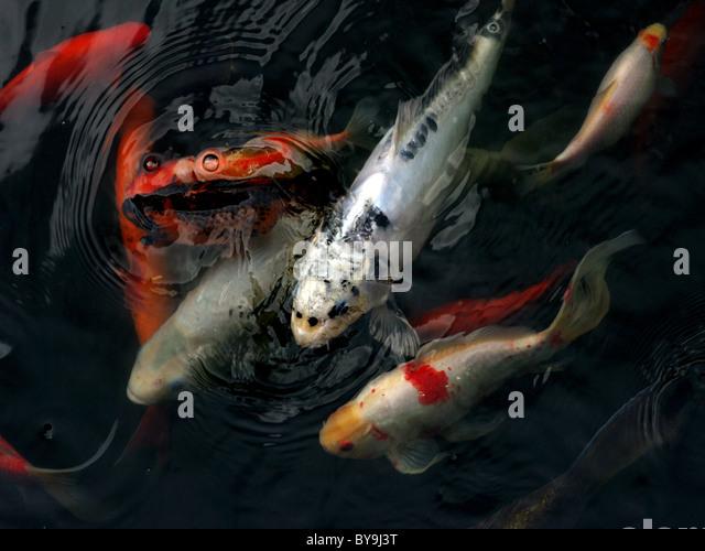 Bunte Koi-Karpfen schwimmen zusammen. Stockbild