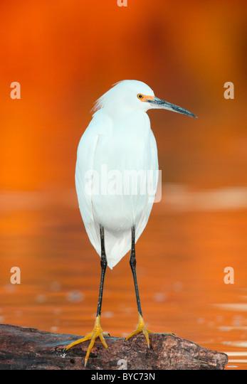 Snowy Egret Stockbild