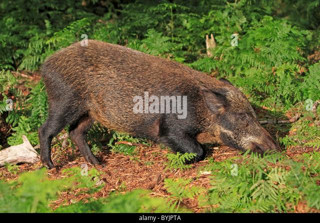 Wildschwein (Sus Scrofa) auf der Suche nach Nahrung. Highland Wildlife Park, Schottland. Stockbild