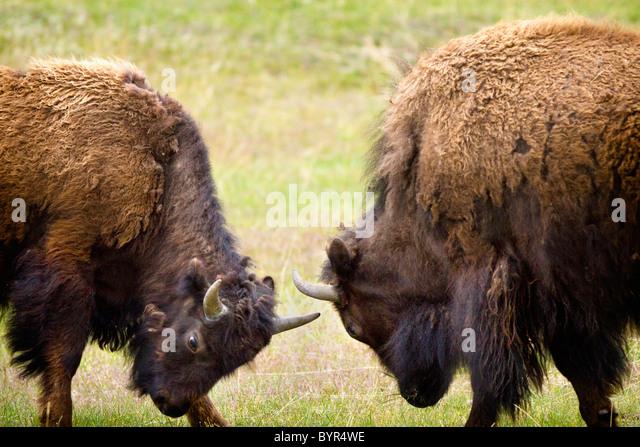 zwei männliche Wisente (Büffel) kämpfen im Yellowstone National Park; Wyoming, Vereinigte Staaten Stockbild
