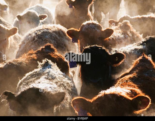 Vieh - Kreuzung und gemischten Rassen der Rinder in einem Feedlot Stift an einem frostigen Wintermorgen bei Sonnenaufgang Stockbild