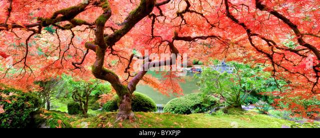 Japanischer Ahornbaum in Herbstfarben. Portland japanische Gärten. Oregon Stockbild