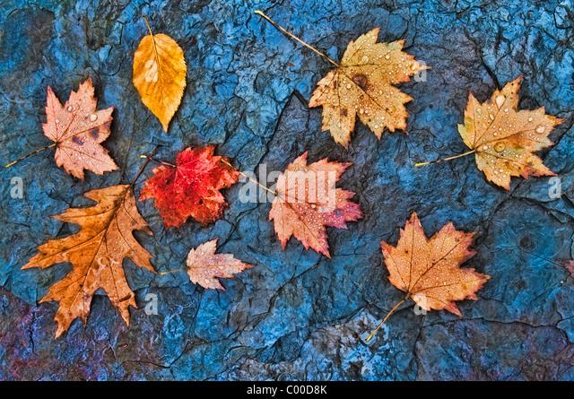 Regen Herbstlaub Tropfen überdachte in ein Bachbett Schiefer Felsen, blaue Henne Falls, Ohio Stockbild