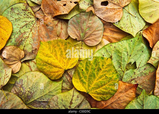Bunte, lebendige Eastern Red Bud Baum Blätter bilden ein kompliziertes Muster, zeigen verschiedene Zustände Stockbild