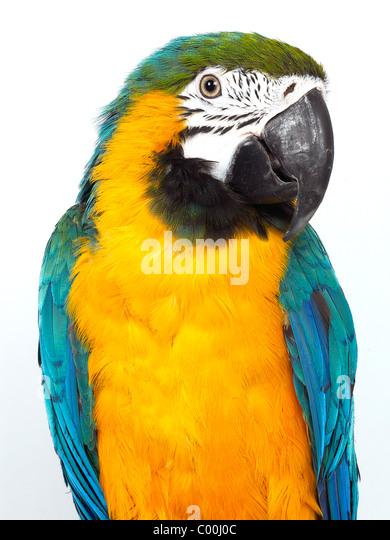 Eine blaue und gelbe Mackaw, einen bunten Vogel. Stockbild