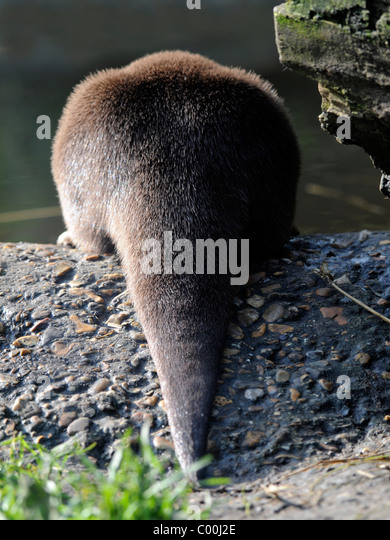Ende eines Otters. Stockbild