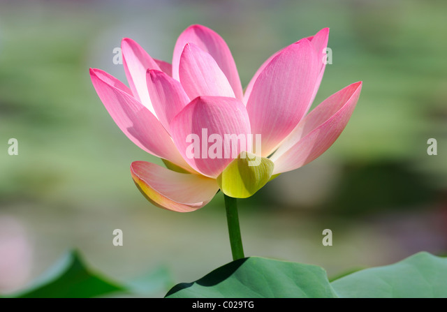Indian Lotus, Heilige Lotus Bean of India (Nelumbo Nucifera) Stockbild