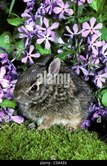 Baby Cottontail Hasen, Lepus Sylvaticus, versteckt sich im Garten unter Sweet William Lavendelblüten Stockbild