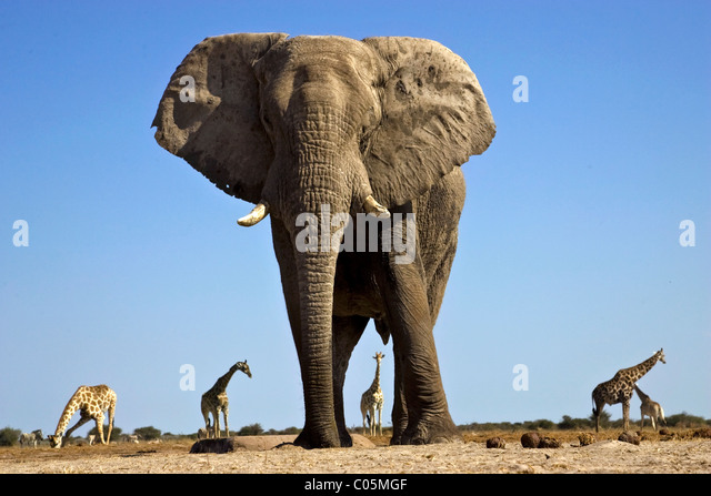 Elefanten und Giraffen, Etosha Nationalpark, Namibia Stockbild